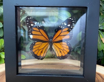 Single Monarch Butterfly in Frame, Preserved Butterfly, Ethically Sourced Taxidermy, Danaus Plexippus, Milkweed, Common Tiger, Nymphalidae