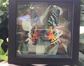 Uraniidae Butterfly, Uraniidae Moth, Wall Decor, Butterfly/Moth, Iridescent Butterfly
