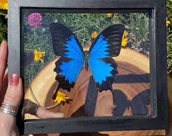 Single Blue Papilionidae Butterfly in Frame, Preserved Butterfly, Ethically Sourced, Blue Mountain Swallowtail, Papilio Ulysses