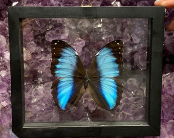 Single Morpho Achilles Butterfly in Frame, Preserved Butterfly, Ethically Sourced Taxidermy, Peru Butterfly, Oddity, Entomology