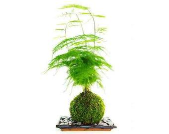 Asparagus Fern ('Fresh Air' Plant)