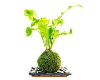 Fern ('Fresh Air' Plant)