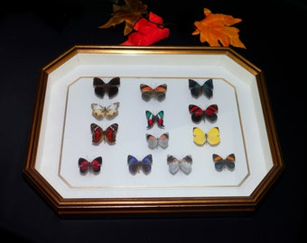 Vintage (1980s) framed art thirteen pinned butterflies. Professionally mounted and framed by Dr Marc McDonald The Lepidopterist Gallery.