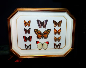 Vintage (1980s) framed art eleven pinned butterflies. Professionally mounted and framed by Dr Mac McDonald The Lepidopterist Gallery.