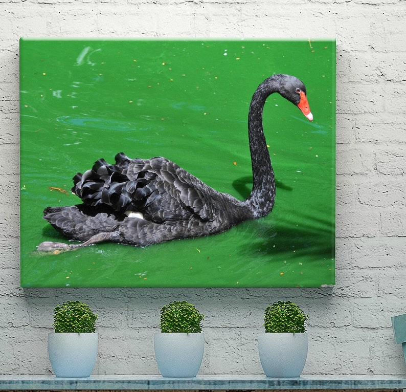 Bird Photography  Black Swan Print  Nature Prints  Nature image 0