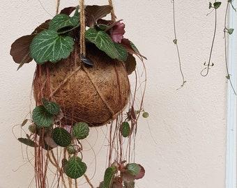 Saxifraga Stolonifera 'Striped' Kokodama Hanging Planter | plant + kokodama pot + hanging planter