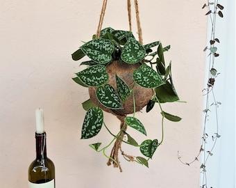 Scindapsus Pictus Kokodama Hanging Planter - plant + kokodama pot + hanging planter