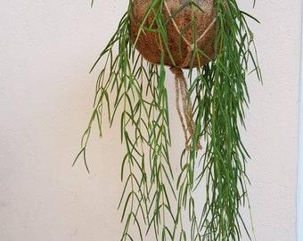 Hoya Linearis Kokedama Hanging Planter - plant + kokedama pot + hanging planter