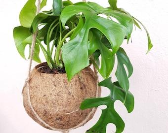 Monstera Minima Kokodama Hanging Planter - plant + kokodama pot + hanging planter