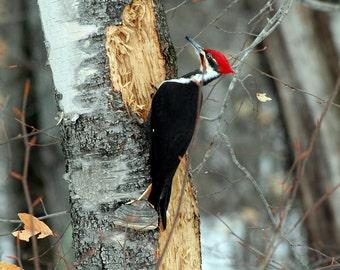 Woody on Steroids, Bridgton, Maine, Wildlife, Birds, White Birch, Pileated Woodpecker, Fine Art, Wall Art