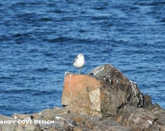 5 x 7 Greeting Card with Envelope - One Legged Seagull, Ogunquit, Maine, Wildlife, Birds