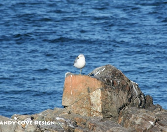 One-Legged Seagull, Ogunquit, Maine, Ocean, Bird, Rocks, Coast, Seashore, Fine Art Photo, Wall Art