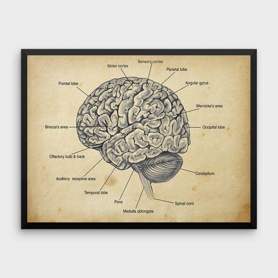 Menschliche Gehirn Anatomie Druck Menschliche Anatomie | Etsy