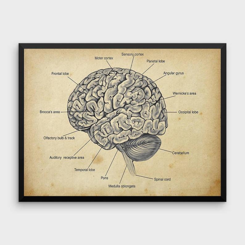 Human Brain Anatomy Print Human Anatomy Vintage Art Etsy