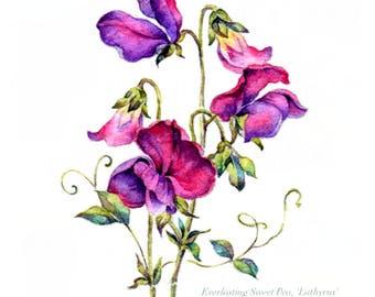 Watercolour Flower Painting EVERLASTING SWEET PEA 'Lathyrus', Handmade Limited Edition Flower Art Print, Original Watercolour Wall Art Print