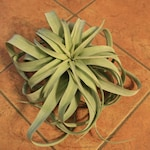 Large Tillandsia Xerographica, Air Plant, Terrarium, Weddings, Room Decor, Indoor Plants