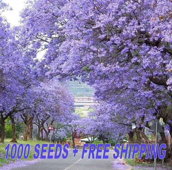 Paulownia Tomentosa fresh seeds 500++