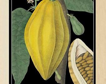 Luxury Cocoa Bean Botanical Print - Vintage Cacao Bean Botanical Poster - Vintage Style Hot Chocolate - Large botanical poster