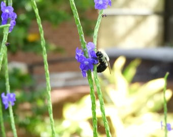Bumble Bee on a Flower, Photo, Print, Wall Deco