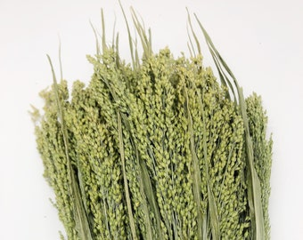 Canary Grass, Dried, Wheat, Preserved Flowers, Green, Wedding, Floral, Home Decor, Greenery, Filler Flower, Fall, Summer, Dried
