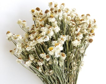 Short Dried Ammobium, White Flowers, Filler Floral, Wedding Bouquets, Winged Everlasting, Country, Farmhouse, Wildflowers, Dry Floral