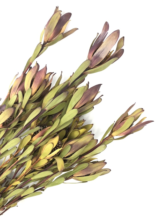 16 Candles, Leucadendron, Dried Flowers, Purple, House Decor, Filler Flower, Farmhouse, Green, Wedding Flower, Home, Counrty