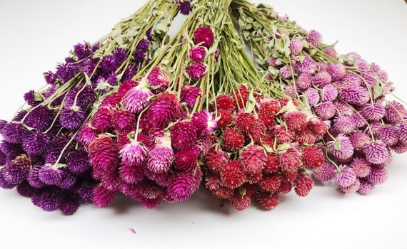 Globe Amaranth Gomphrena Dry Flowers Dried Red Fuchsia Etsy