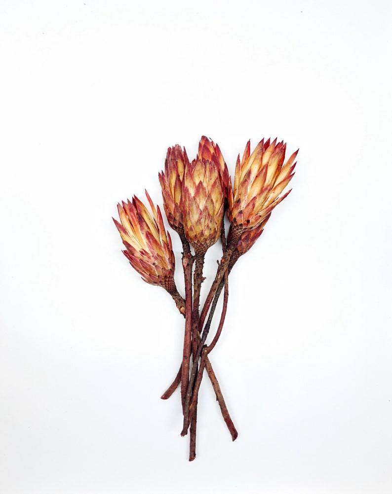 5-6 Dried Protea Repens Flower Pods Dried Flower Preserved image 0