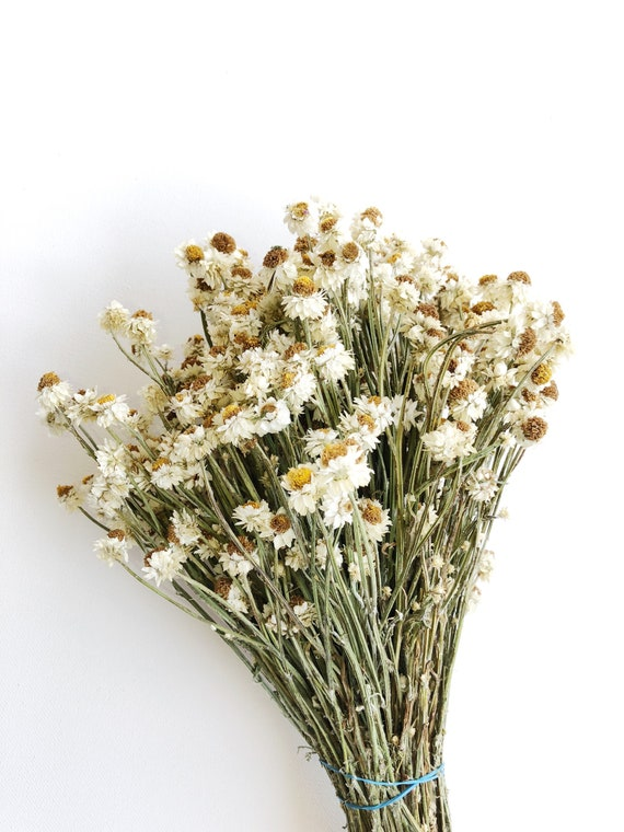 Dried Ammobium White Flowers Filler Floral Wedding Etsy