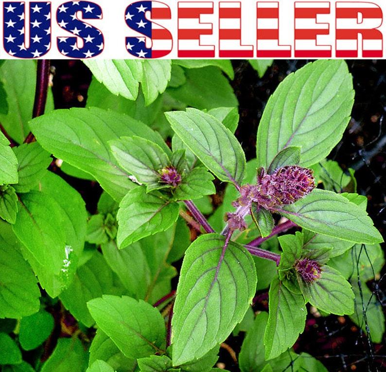 100 Seeds Basil Ocimum Basilicum Licorice