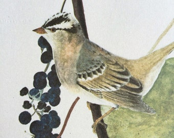 1966 White-Crowned Sparrow Original Vintage Audubon Print, Available Framed 14 x 11 inches, Bird Decor, Vintage Decor, Ornithology