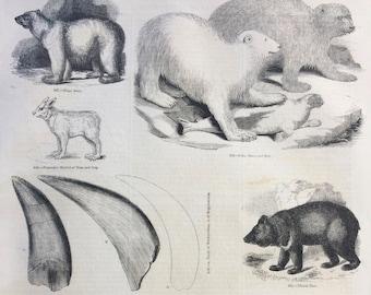 1856 Large Original Antique Engraving - Bear Species: Polar Bear, Tibet Bear, American Black Bear, Bear Tooth, Racoon - Wildlife Wall Decor