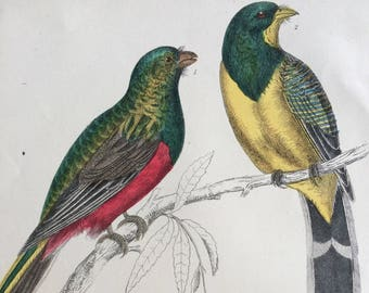 1852 Original Antique Hand-Coloured Engraving - Reinwardt's Couroucoui & Flower Couroucoui - Ornithology - Bird Art - Decorative Print