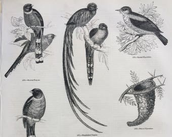 1856 Large Original Antique Bird Engraving - Mexican Trogon, Resplendent Trogon, Spotted Flycatcher, Nest - Ornithology - Wall Decor
