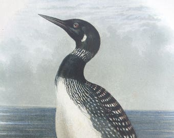 1880 Northern Diver Original Antique Matted Chromolithograph - Colymbus Clacialis - Ornithology - Bird Decor - Wildlife - Decorative Art