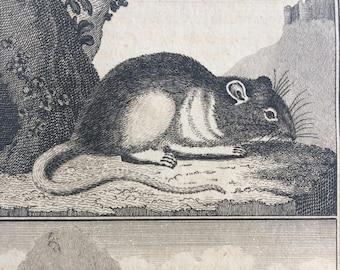 1775 Original Antique Copper Engraving - Surmolot and Marmot - Count de Buffon - Wall Decor - Zoology - Decorative Art - Natural History