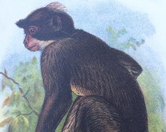 1896 White Crowned Mangabey Original Antique ChromoLithograph - Monkey - Zoology - Natural History - Wildlife Decor - Available Framed