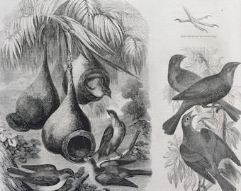1856 Large Original Antique Bird Engraving - Baltimore Oriole & Black Snake, Pit-Pit, Cow-Troupials, Pensile Nests  Ornithology - Wall Decor