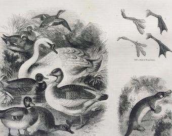1856 Large Original Antique Bird Engraving - Flamingo and Nest, Waterbirds, Water Fowl, Duck Skull, Platypus - Ornithology - Wall Decor