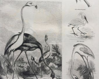 1856 Large Original Antique Bird Engraving - Flamingo - Spoonbill - Anatomy - Flamingo Skull - Ornithology - Wall Decor