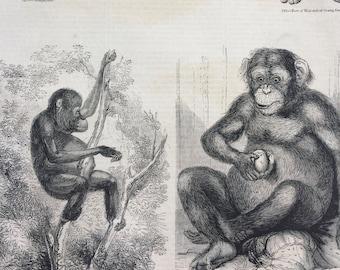 1856 Large Original Antique Engraving - Chimpanzee and Orang-Utan - Primates - Monkey - Wildlife Wall Decor