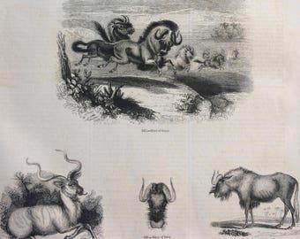 1856 Large Original Antique Engraving - Gnu (Wildebeest), Oryx, Wild Ox, Kudu, Antelope Species, Africa Plain Animals - Wildlife Wall Decor