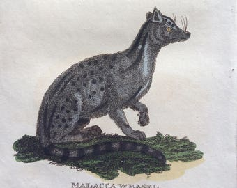 1811 Original Antique Hand-Coloured Engraving - Weasel and Malacca Weasel - Wildlife - Wall Decor - Zoology - Decorative Art