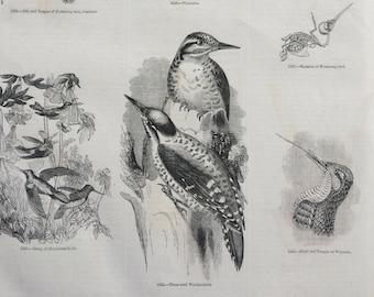 1856 Large Original Antique Bird Engraving - Wryneck, Hummingbird Skeleton, Three-Toed Woodpecker - Ornithology - Wall Decor