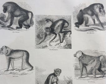 1856 Large Original Antique Engraving - Monkey Species, Primates, Mandrill, Spider, Chacma Baboon - Wildlife Wall Decor