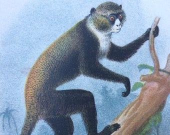 1896 Boutourlini's Guenon Original Antique Chromolithograph - Monkey - Zoology - Natural History - Wildlife Decor - Available Framed