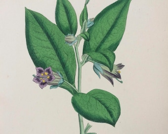 1866 Original Antique Botanical Hand-Coloured Engraving - Deadly Nightshade - Mounted and Matted - Decorative Wall Art - Botany