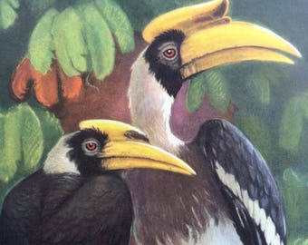 1968 Colourful Vintage Great Hornbill Print - Tropical Bird - Available Framed - 14 x 11 inches - Buckeroos Bicornis