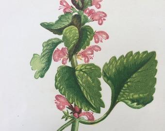 1852 Original Antique Hand-Coloured Anne Pratt Botanical Illustration - Red Dead Nettle - Wild Flower - Botany - Garden - Decorative Art