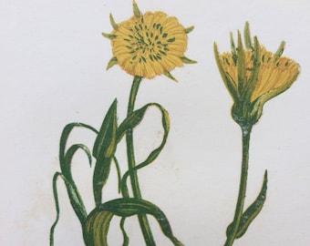 1852 Original Antique Hand-Coloured Anne Pratt Botanical Illustration - Yellow Goat's Beard - Wild Flower - Botany - Garden - Decorative Art